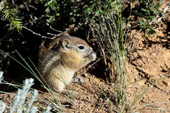 Harris's antelope ground squirrel Royalty Free Stock Photography