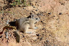 Harris's antelope ground squirrel Royalty Free Stock Image
