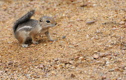 Harris's Antelope Squirrel Royalty Free Stock Photo
