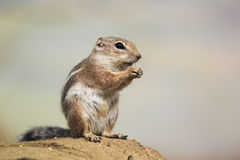 Harris's antelope squirrel Stock Photo