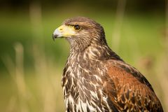 Close up Harris`s Buzzard. Harris`s Buzzard close up, predator on the prowl, brown bird with a hooked beak, Europe Royalty Free Stock Image