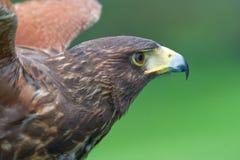 Harris's falcon (Parabuteo unicintus) Stock Image
