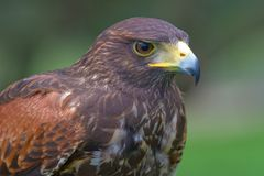 Harris's falcon (Parabuteo unicintus) Stock Photo