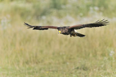 Harriss Hawk. In flight Royalty Free Stock Image