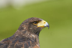 Harris Hawk Royalty Free Stock Images