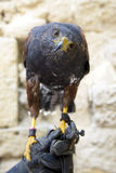 Harris's Hawk Stock Photos