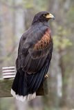 Harris's Hawk Stock Images