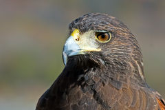 Harris's Hawk Royalty Free Stock Image