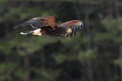 Harris's Hawk in Flight Stock Photo