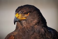 Harris`s Hawk Headshot Closeup stock image