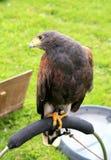 Harris's Hawk. Royalty Free Stock Photos