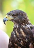 Harris's hawk. In a hungarian bird park - bird photography Stock Photo