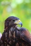 Harris's hawk. In a hungarian bird park - bird photography Royalty Free Stock Image