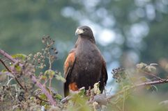 Harris's Hawk hunting from blackberry bush Stock Photo