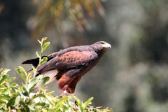 Harris's hawk looking up Stock Images