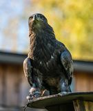 Harris`s hawk, Parabuteo unicinctus, bay-winged hawk or dusky hawk stock photo