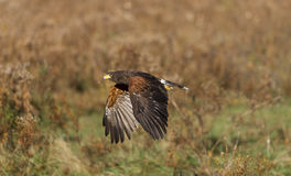 Harris's hawk (Parabuteo unicinctus) Stock Images