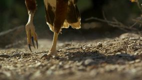 Harris`s Hawk Parabuteo unicinctus in Sonora Desert Arizona, Southwestern Predator royalty free stock images