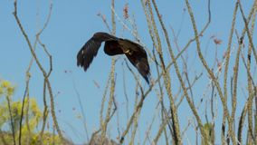 Harris`s Hawk Parabuteo unicinctus in Sonora Desert Arizona, Southwestern Predator stock photography