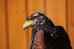 Harris's hawk (Parabuteo unicinctus). Royalty Free Stock Images
