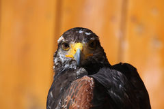 Harris's hawk (Parabuteo unicinctus). Royalty Free Stock Photo