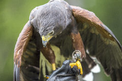 Harris's hawk perched on the arm of a falconer Royalty Free Stock Photography