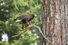 Harris's hawk perched on a branch Royalty Free Stock Photo