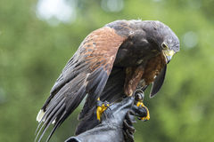 Harris's hawk perched on the hand of a falconer Royalty Free Stock Photography