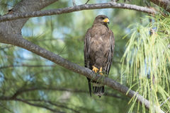 Harris's Hawk perched in tree Stock Photo