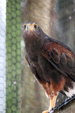 Harris`s hawk Stock Photo