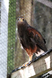 Harris`s hawk Royalty Free Stock Image
