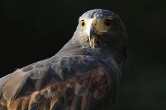 Harris's hawk portrait Stock Photography