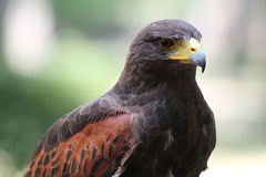 Harris's Hawk Royalty Free Stock Images
