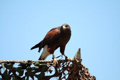 Harris's hawk preparing for takeoff Stock Images