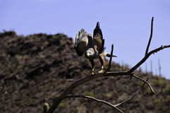 Harris's Hawk preparing for takeoff Royalty Free Stock Image
