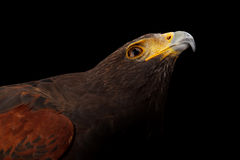 Harris's Hawk Stock Photography