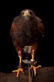 Harris's Hawk Stock Image