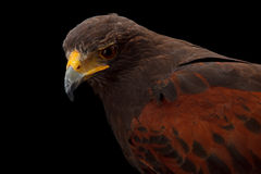 Harris's Hawk Royalty Free Stock Photography