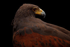 Harris's Hawk Royalty Free Stock Photo