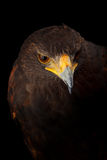 Harris's Hawk Royalty Free Stock Photos