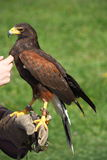Harris's Hawk sitting on hand Stock Images