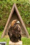 Harris's hawk Stock Photography