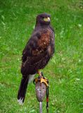 Harris´s hawk Stock Photography