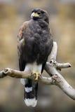 Harriss hawk Royalty Free Stock Image