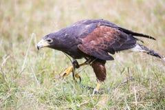 Harris's hawk walking between the grass Stock Image