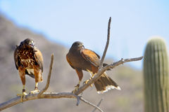 Harris's Hawks stock images