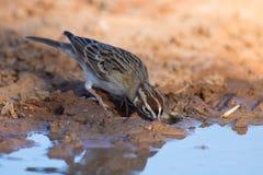 Harris`s Sparrow Royalty Free Stock Photo