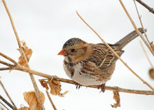 Harris's Sparrow perched on a dry flower Stock Image