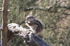 Harrisii d'Ammospermophilus d'écureuil d'antilope de ` de Harris Images stock