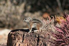 Harrisii d'Ammospermophilus d'écureuil d'antilope de ` de Harris Photographie stock libre de droits